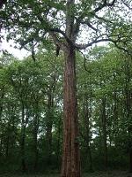 עץ טיק מלא